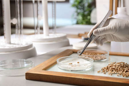 Scientist sorting wheat grains on glass tray at table in laboratory, closeup