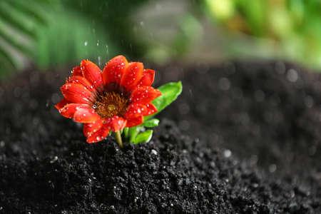 Fresh flower in fertile soil under rain, space for text