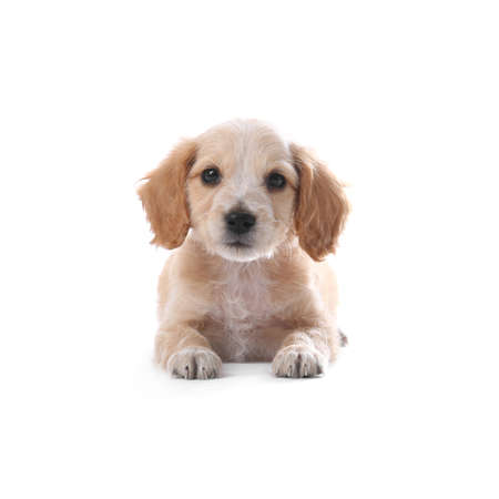 Cute English Cocker Spaniel puppy on white background 写真素材