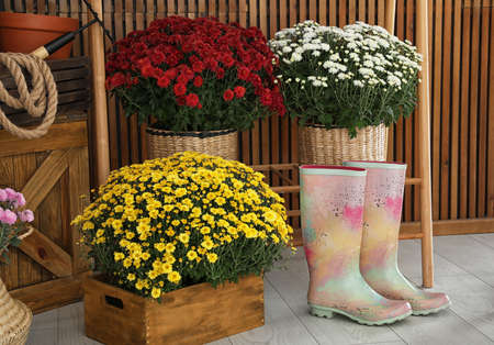 Beautiful fresh chrysanthemum flowers and gardening tools indoors Stock fotó