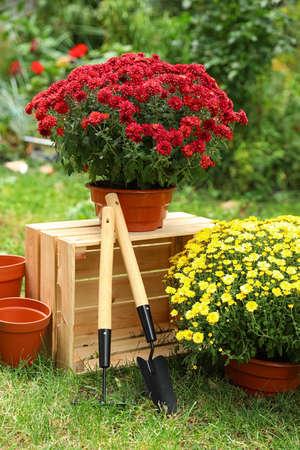 Beautiful fresh chrysanthemum flowers and gardening tools in garden