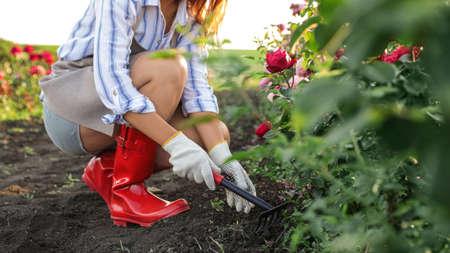 Woman working with metal rake near rose bushes outdoors, closeup. Gardening tool