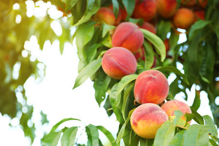 Fresh ripe peaches on tree in garden