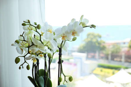 Beautiful white orchid flowers near window, indoors