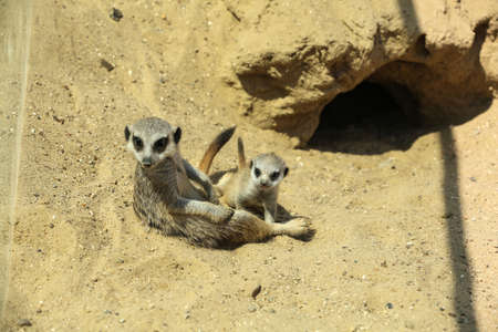 Cute meerkats at enclosure in zoo on sunny day Stock Photo