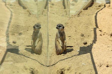 Cute meerkat at enclosure in zoo on sunny day