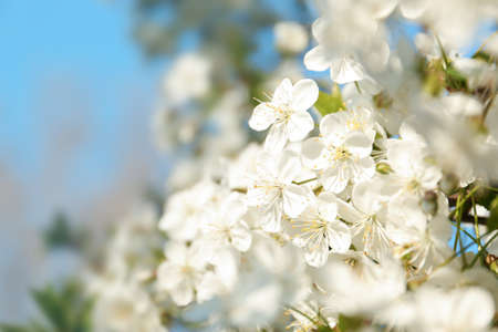 Blossoming cherry tree, closeup Foto de archivo - 133570171