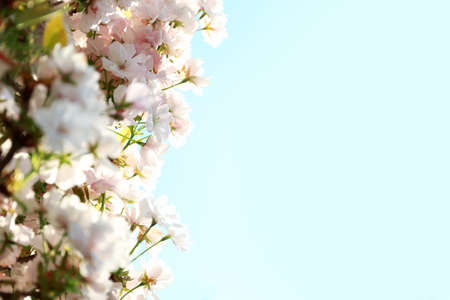 Blossoming cherry tree, closeup Foto de archivo - 133570651
