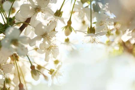 Blossoming cherry tree, closeup Foto de archivo - 133571139