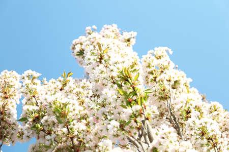 Blossoming cherry tree, closeup Foto de archivo - 133571406