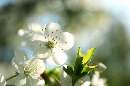 Blossoming cherry tree, closeup Foto de archivo - 133571503