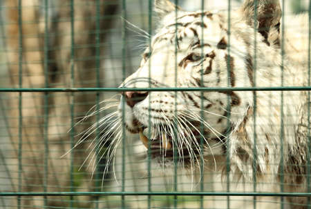 Closeup view of Bengal white tiger at enclosure in zoo