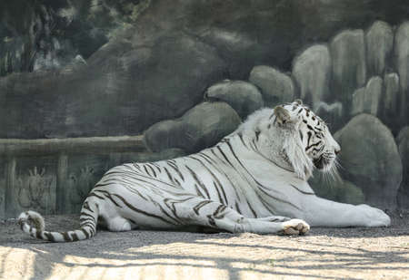 Bengal white tiger in zoo on sunny day