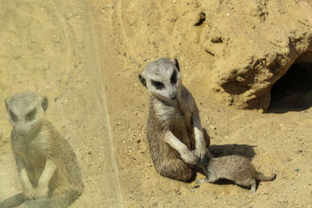 Cute meerkats at enclosure in zoo on sunny day