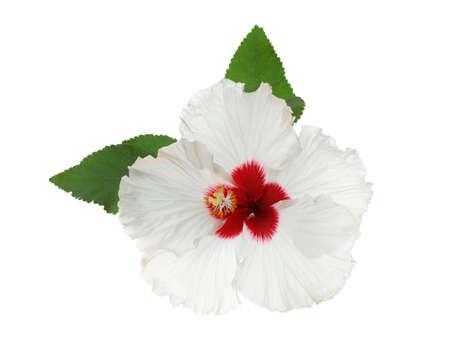Schöne tropische Hibiskusblüte mit Blättern isoliert auf weiß