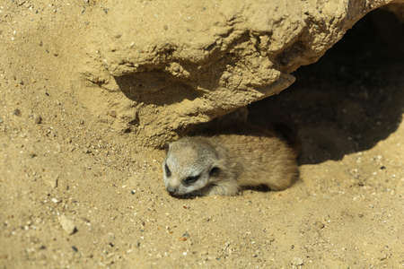 Cute meerkat baby at enclosure in zoo on sunny day