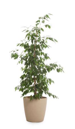 Pentola con pianta di Ficus benjamina isolata su bianco. Home decor