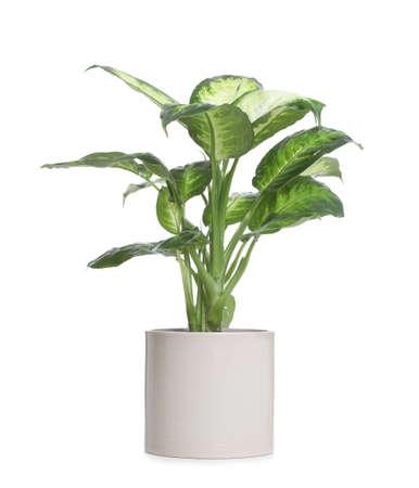 Pot with Dieffenbachia plant isolated on white. Home decor