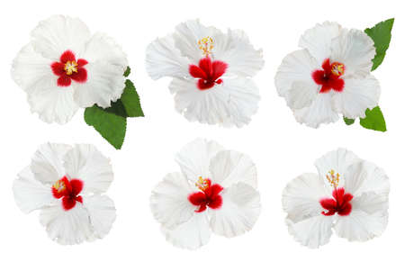Set of beautiful tropical hibiscus flowers isolated on white