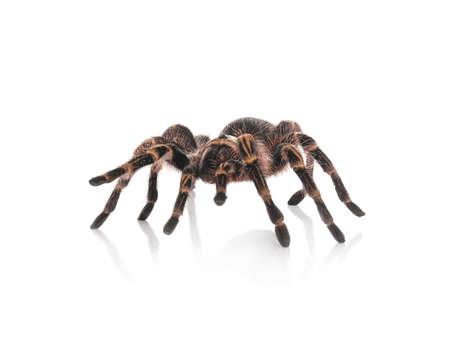 Striped knee tarantula (Aphonopelma seemanni) isolated on white