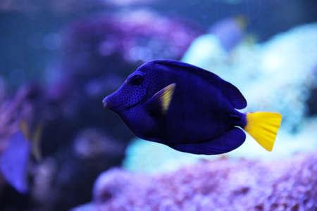 Beautiful blue surgeonfish swimming in clear aquarium