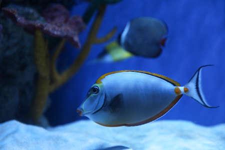 Beautiful achilles tang fish in clear aquarium