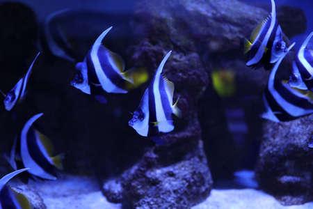 Beautiful Moorish idol fish in clear aquarium water