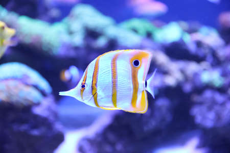 Beautiful copper banded butterfly fish in clear aquarium water