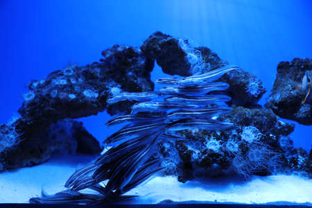 School of catfish swimming in clear aquarium water Imagens