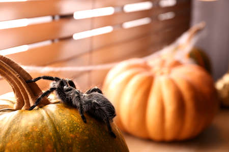Striped knee tarantula on pumpkin near window indoors, space for text. Halloween celebration
