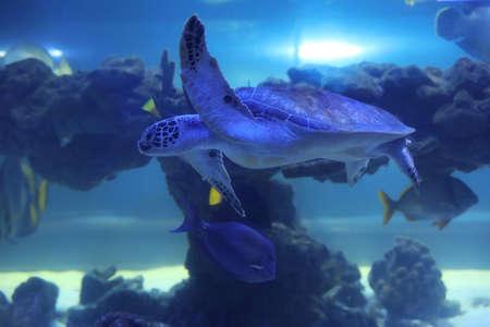 Beautiful turtle swimming in clear aquarium water