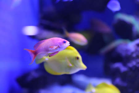 Different tropical fishes swimming in aquarium water