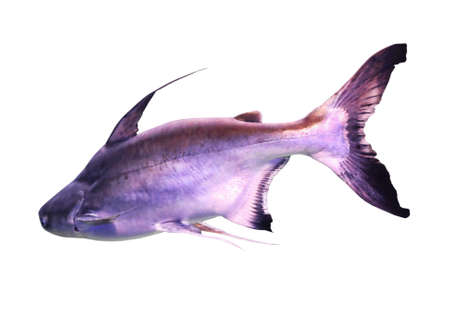 Bright gaff topsail catfish on white background
