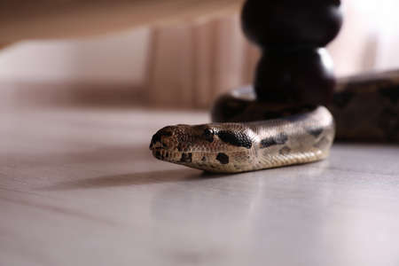 Brown boa constrictor crawling under sofa in room