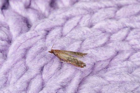 Common clothes moth (Tineola bisselliella) on violet knitted fabric, closeup