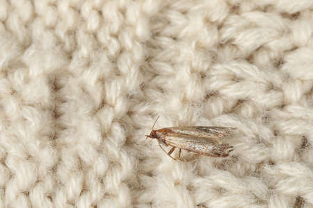 Common clothes moth (Tineola bisselliella) on beige knitted fabric, closeup. Space for text
