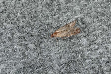Gewöhnliche Kleidermotte (Tineola bisselliella) auf hellgrauem Strickstoff, Nahaufnahme Standard-Bild