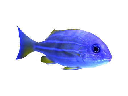 Beautiful bluestriped snapper on white background. Tropical fish