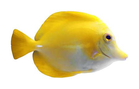 Hermosos peces tropicales brillantes sobre fondo blanco. Foto de archivo
