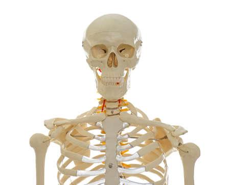 Modelo de esqueleto humano artificial aislado en blanco