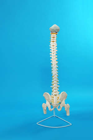 Artificial human spine model on blue background