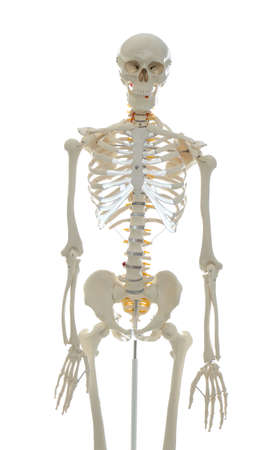 Artificial human skeleton model isolated on white