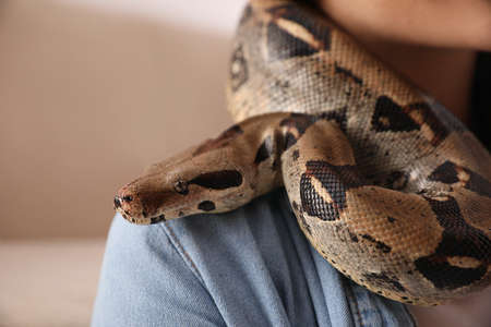 Woman with her boa constrictor at home, closeup. Exotic pet