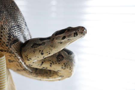 Big boa constrictor indoors, closeup view. Exotic pet