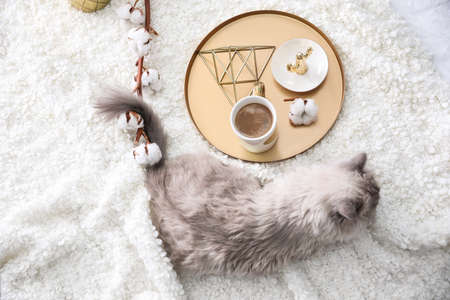 Birman cat and cup of drink on blanket at home, above view. Cute pet
