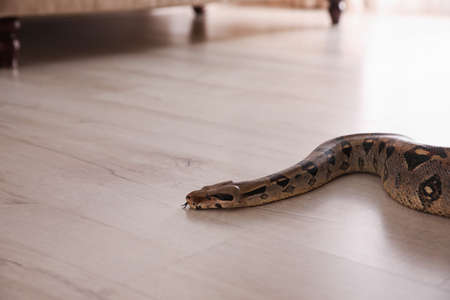 Brown boa constrictor crawling on floor in room