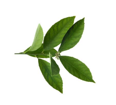 Ramita fresca con hojas de cítricos verdes aisladas en blanco Foto de archivo
