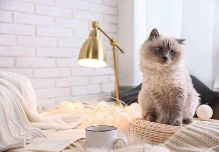 Birman cat at home, space for text. Cute pet Stock Photo