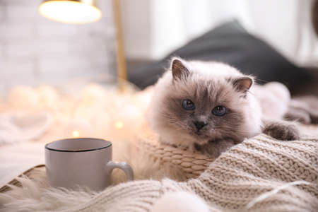 Birman cat and cup of drink on rug at home. Cute pet