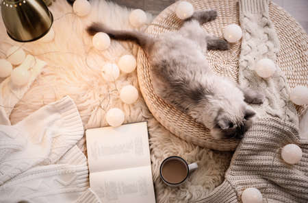 Birman cat, cup of drink and book on rug at home, top view. Cute pet
